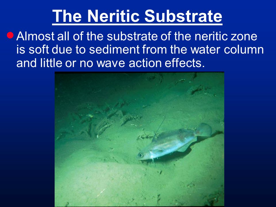 The Neritic Substrate  Almost all of the substrate of the neritic zone is soft due to sediment from the water column and little or no wave action effects.