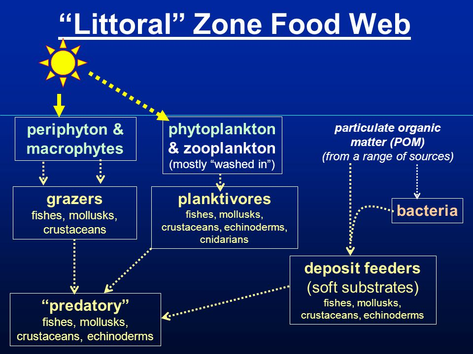 Littoral Zone Food Web periphyton & macrophytes grazers fishes, mollusks, crustaceans predatory fishes, mollusks, crustaceans, echinoderms planktivores fishes, mollusks, crustaceans, echinoderms, cnidarians phytoplankton & zooplankton (mostly washed in ) deposit feeders (soft substrates) fishes, mollusks, crustaceans, echinoderms particulate organic matter (POM) (from a range of sources) bacteria
