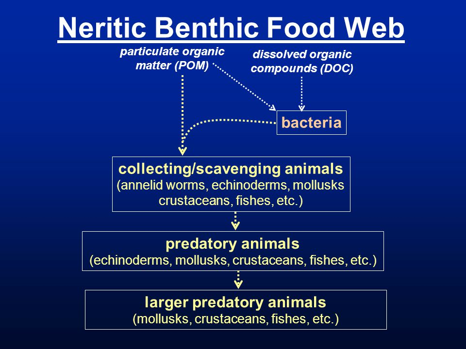 Neritic Benthic Food Web predatory animals (echinoderms, mollusks, crustaceans, fishes, etc.) bacteria dissolved organic compounds (DOC) particulate organic matter (POM) collecting/scavenging animals (annelid worms, echinoderms, mollusks crustaceans, fishes, etc.) larger predatory animals (mollusks, crustaceans, fishes, etc.)