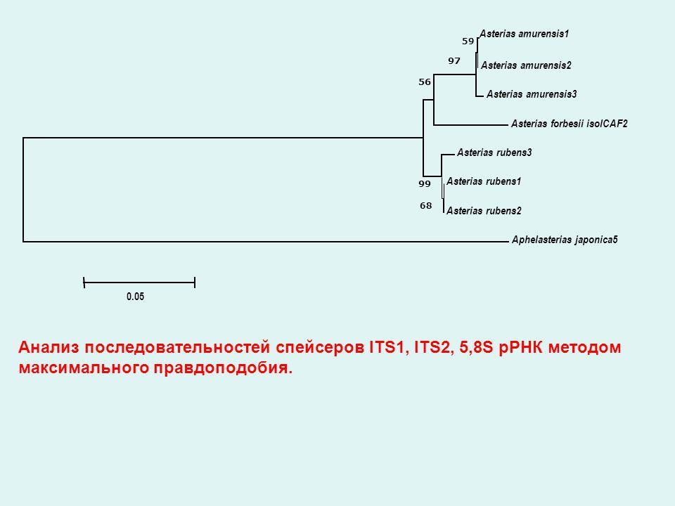 Asterias amurensis1 Asterias amurensis2 Asterias amurensis3 Asterias forbesii isolCAF2 Asterias rubens3 Asterias rubens1 Asterias rubens2 Aphelasterias japonica5 59 97 56 99 68 0.05 Анализ последовательностей спейсеров ITS1, ITS2, 5,8S рРНК методом максимального правдоподобия.