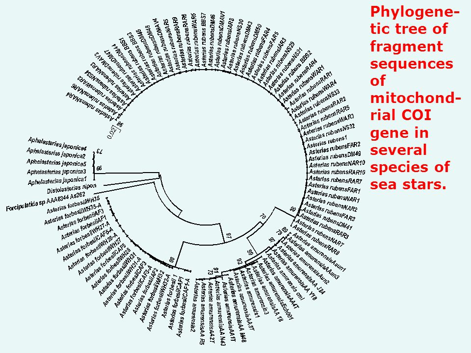 Phylogene- tic tree of fragment sequences of mitochond- rial COI gene in several species of sea stars.