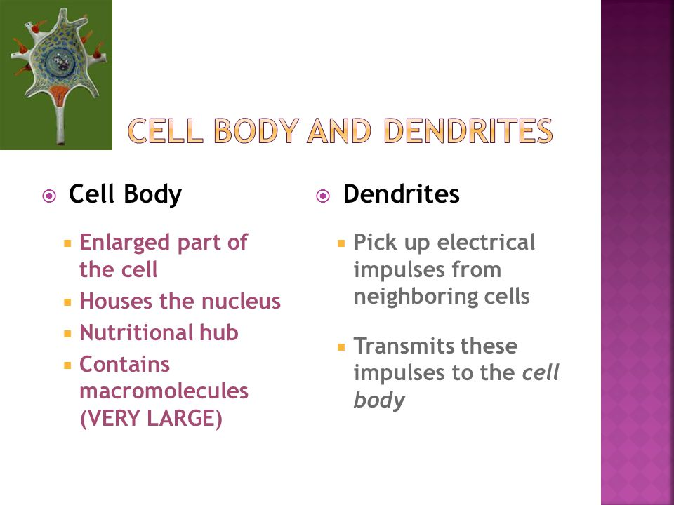 Cell Body  Enlarged part of the cell  Houses the nucleus  Nutritional hub  Contains macromolecules (VERY LARGE)  Dendrites  Pick up electrical