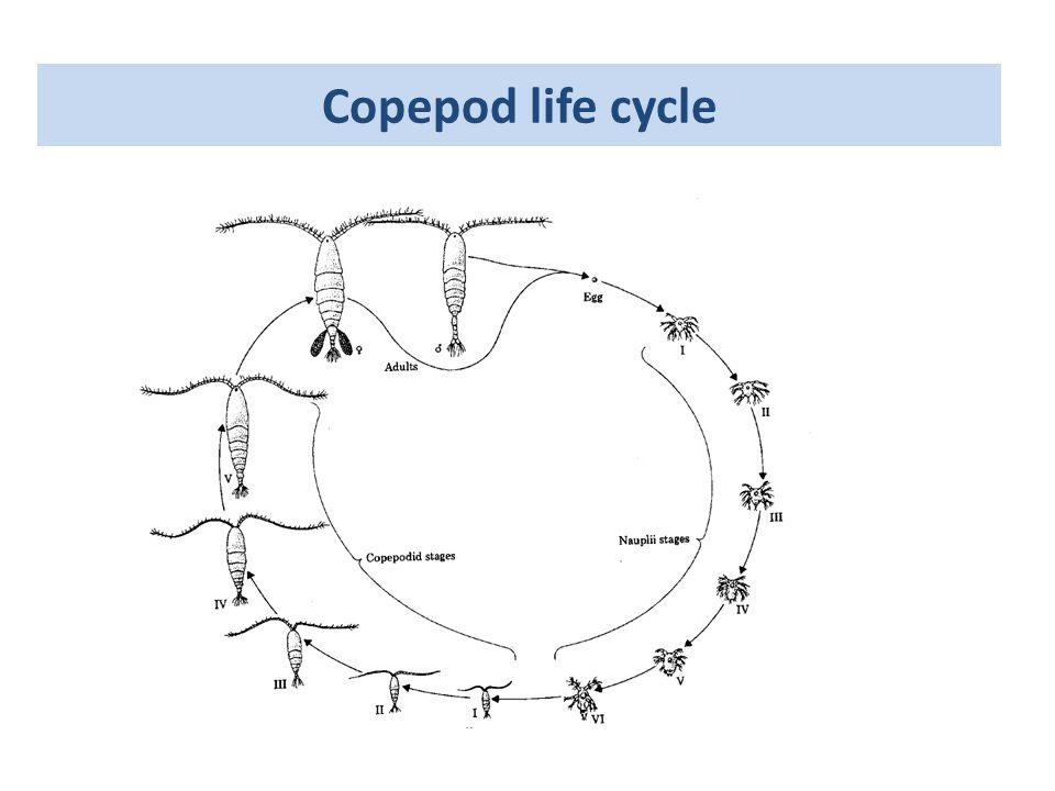 Copepod life cycle