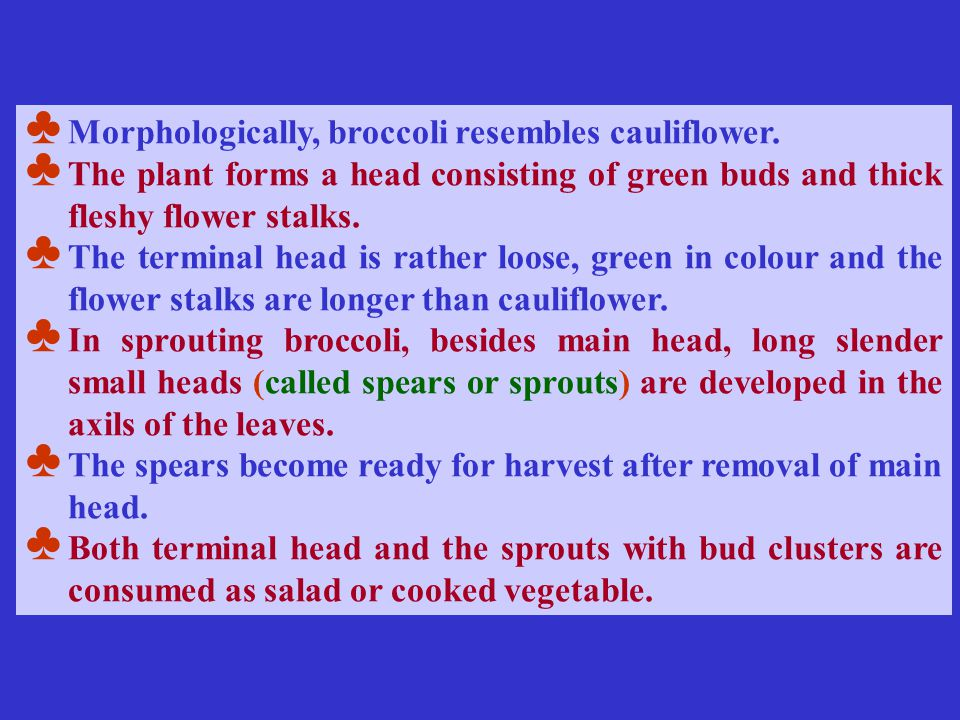 ♣ Morphologically, broccoli resembles cauliflower. ♣ The plant forms a head consisting of green buds and thick fleshy flower stalks. ♣ The terminal he
