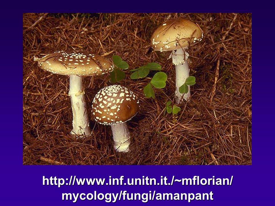http://www.inf.unitn.it./~mflorian/ mycology/fungi/amanpant