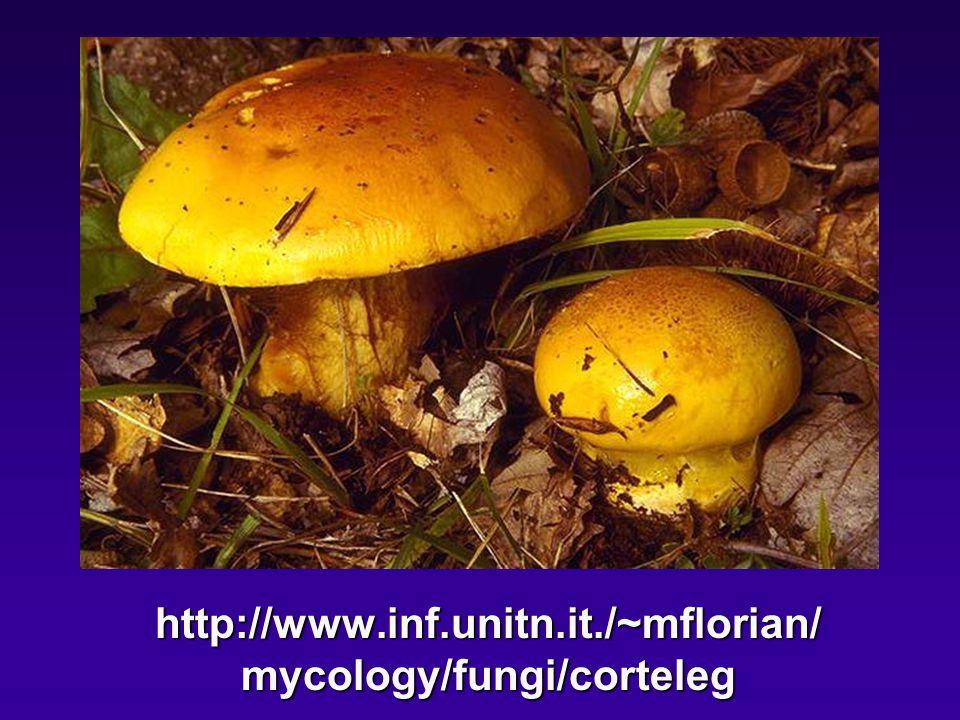 http://www.inf.unitn.it./~mflorian/ mycology/fungi/corteleg