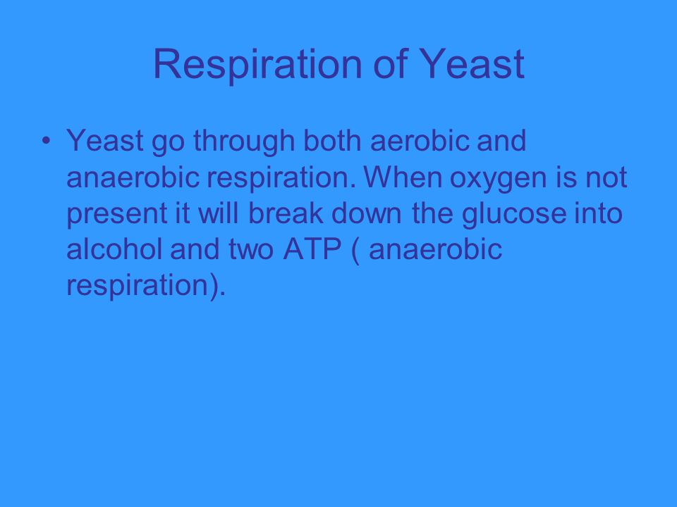 Respiration of Yeast Yeast go through both aerobic and anaerobic respiration. When oxygen is not present it will break down the glucose into alcohol a
