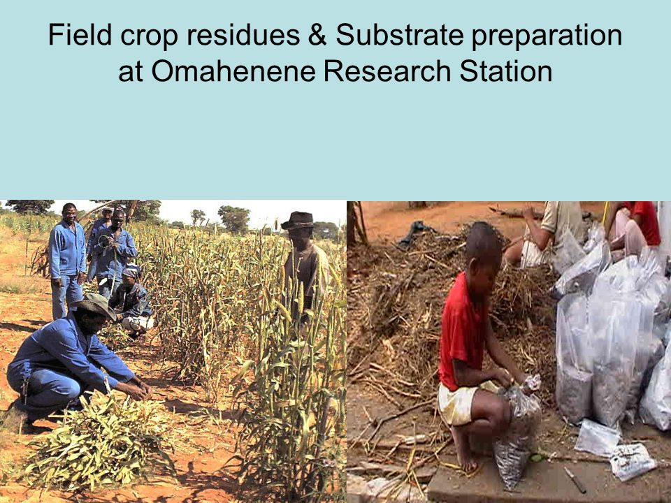Field crop residues & Substrate preparation at Omahenene Research Station