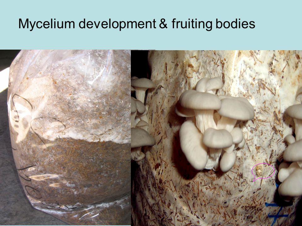 Mycelium development & fruiting bodies