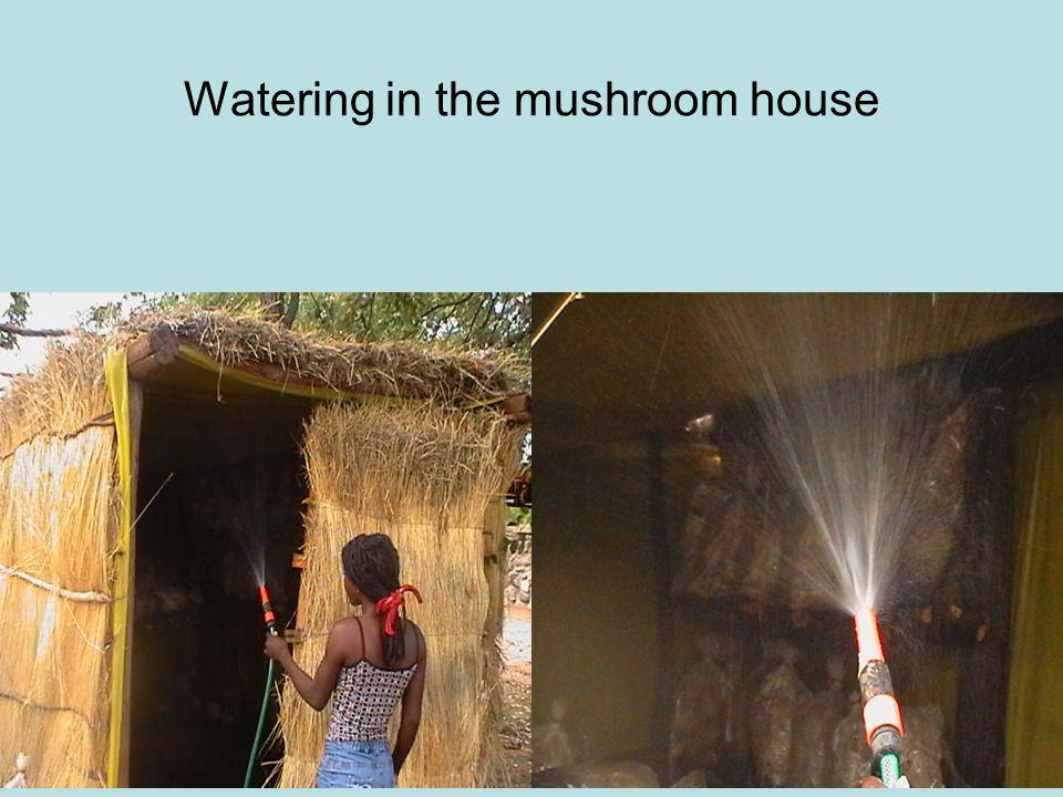 Watering in the mushroom house