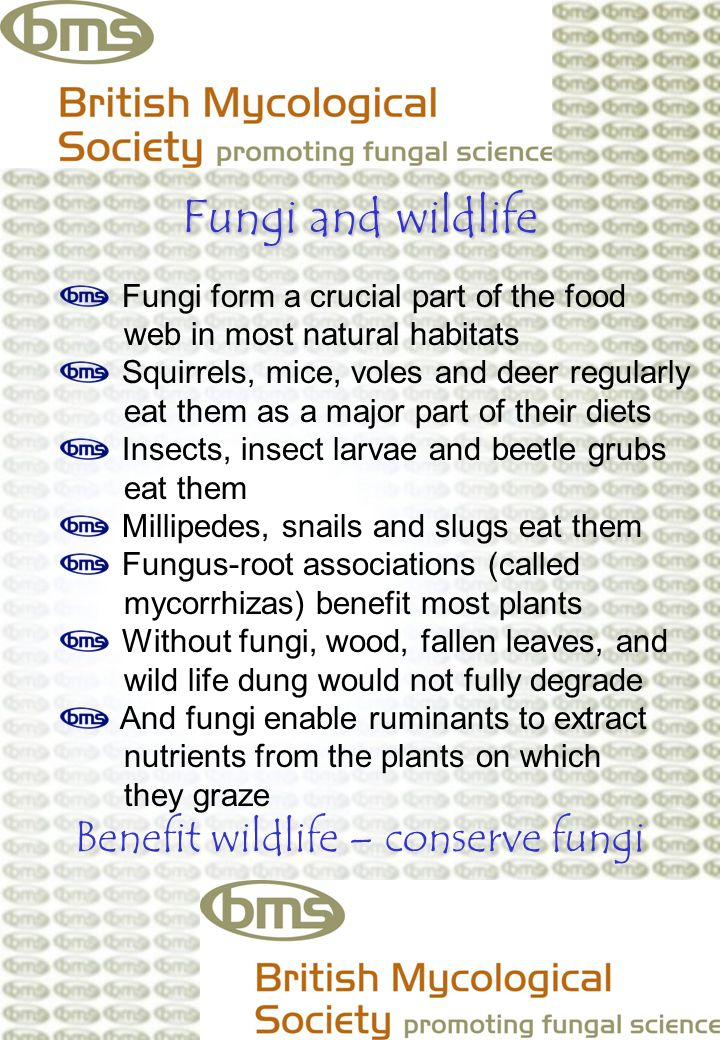 Fungi and wildlife Fungi form a crucial part of the food web in most natural habitats Squirrels, mice, voles and deer regularly eat them as a major part of their diets Insects, insect larvae and beetle grubs eat them Millipedes, snails and slugs eat them Fungus-root associations (called mycorrhizas) benefit most plants Without fungi, wood, fallen leaves, and wild life dung would not fully degrade And fungi enable ruminants to extract nutrients from the plants on which they graze Benefit wildlife – conserve fungi