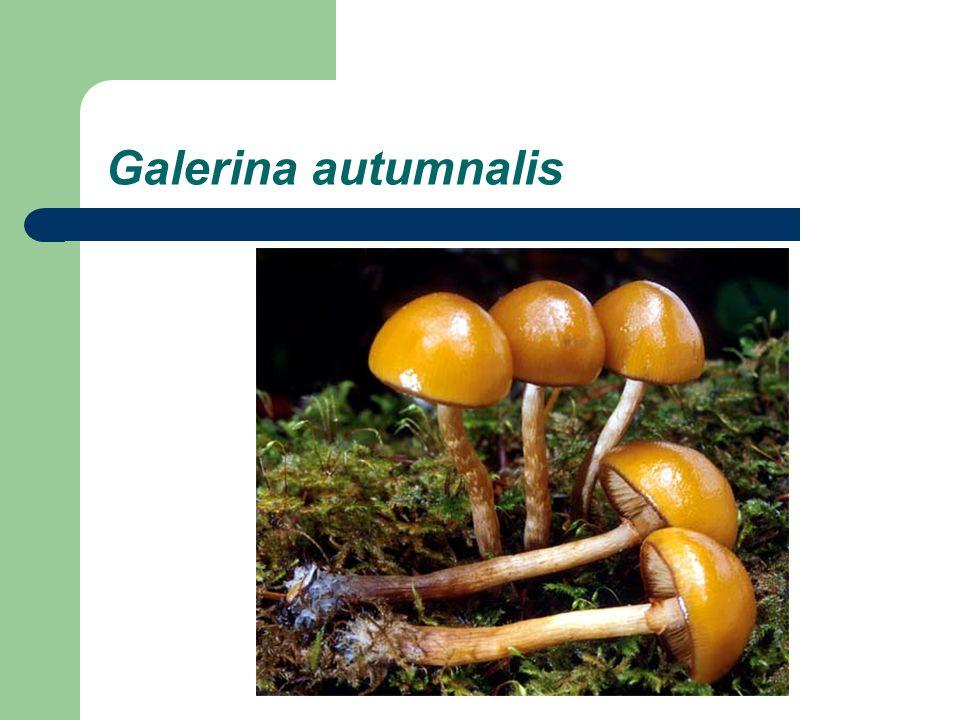 Galerina autumnalis
