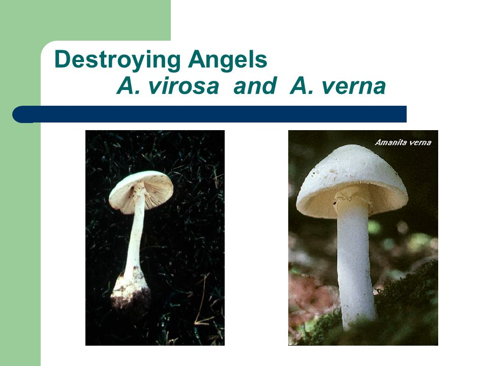 Destroying Angels A. virosa and A. verna