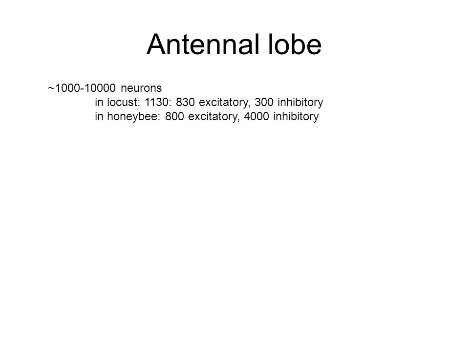 Antennal lobe ~1000-10000 neurons in locust: 1130: 830 excitatory, 300 inhibitory in honeybee: 800 excitatory, 4000 inhibitory