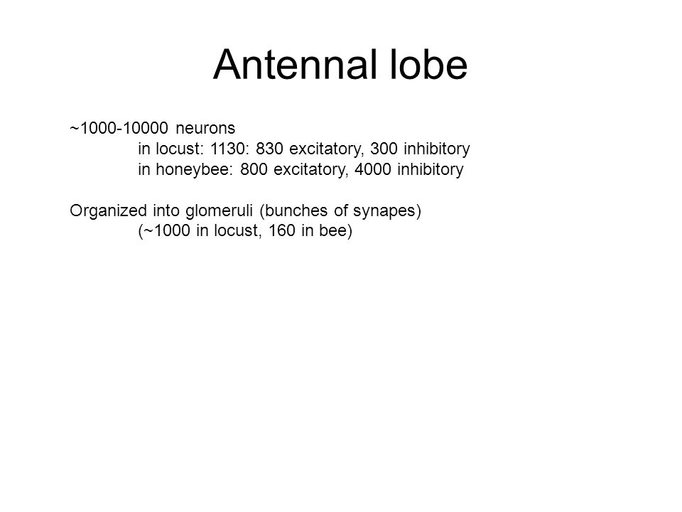 Antennal lobe ~1000-10000 neurons in locust: 1130: 830 excitatory, 300 inhibitory in honeybee: 800 excitatory, 4000 inhibitory Organized into glomeruli (bunches of synapes) (~1000 in locust, 160 in bee)