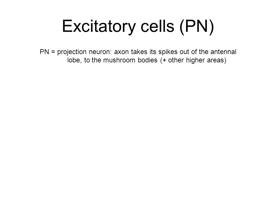 Excitatory cells (PN) PN = projection neuron: axon takes its spikes out of the antennal lobe, to the mushroom bodies (+ other higher areas)