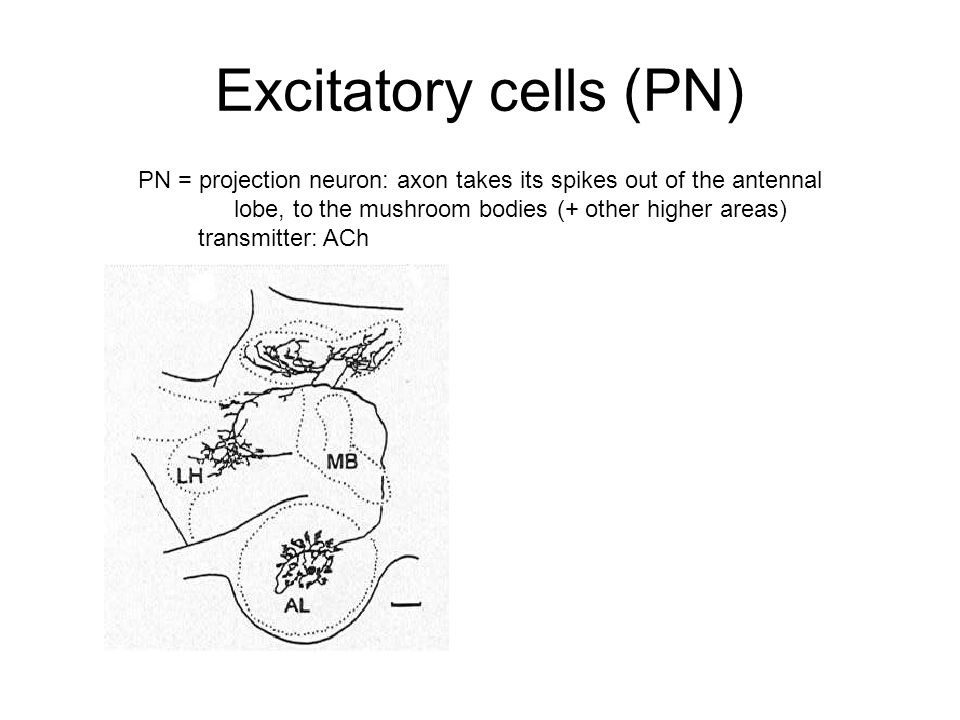 Excitatory cells (PN) PN = projection neuron: axon takes its spikes out of the antennal lobe, to the mushroom bodies (+ other higher areas) transmitter: ACh