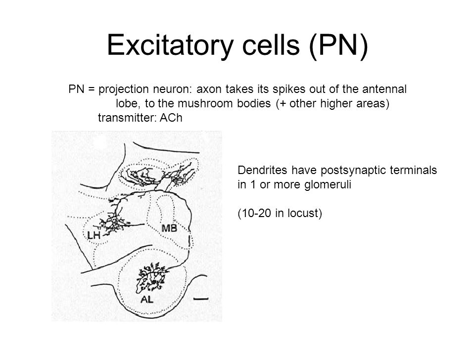 Excitatory cells (PN) PN = projection neuron: axon takes its spikes out of the antennal lobe, to the mushroom bodies (+ other higher areas) transmitter: ACh Dendrites have postsynaptic terminals in 1 or more glomeruli (10-20 in locust)