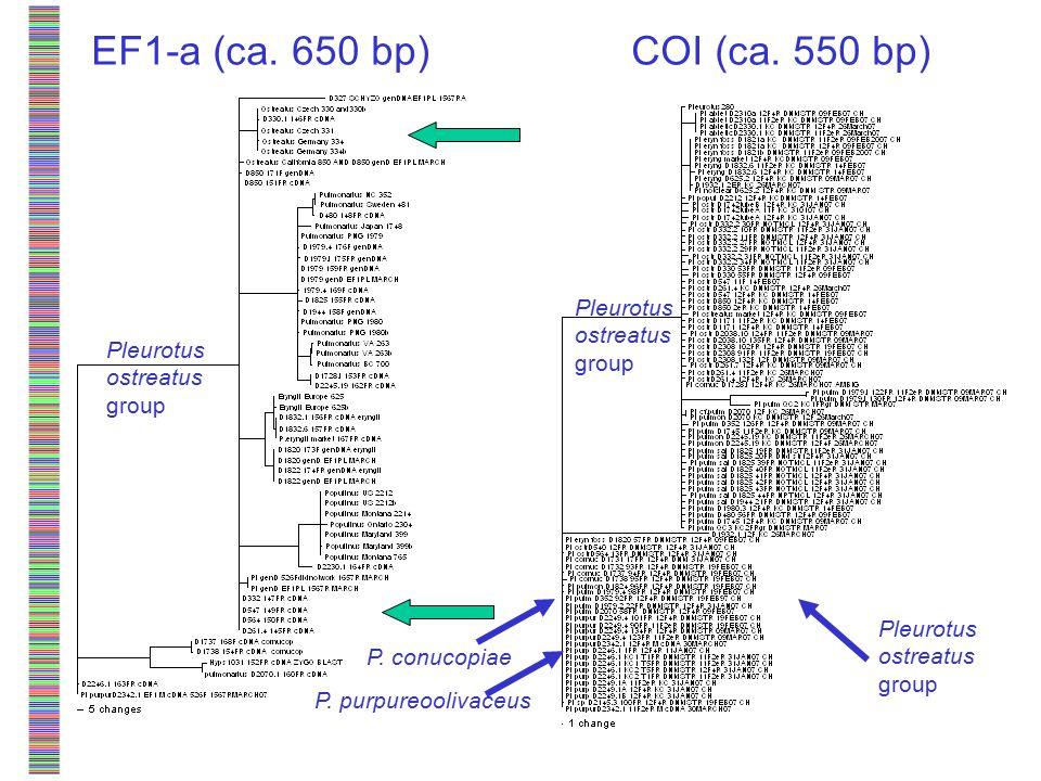 EF1-a (ca. 650 bp) Pleurotus ostreatus group P. purpureoolivaceus P.