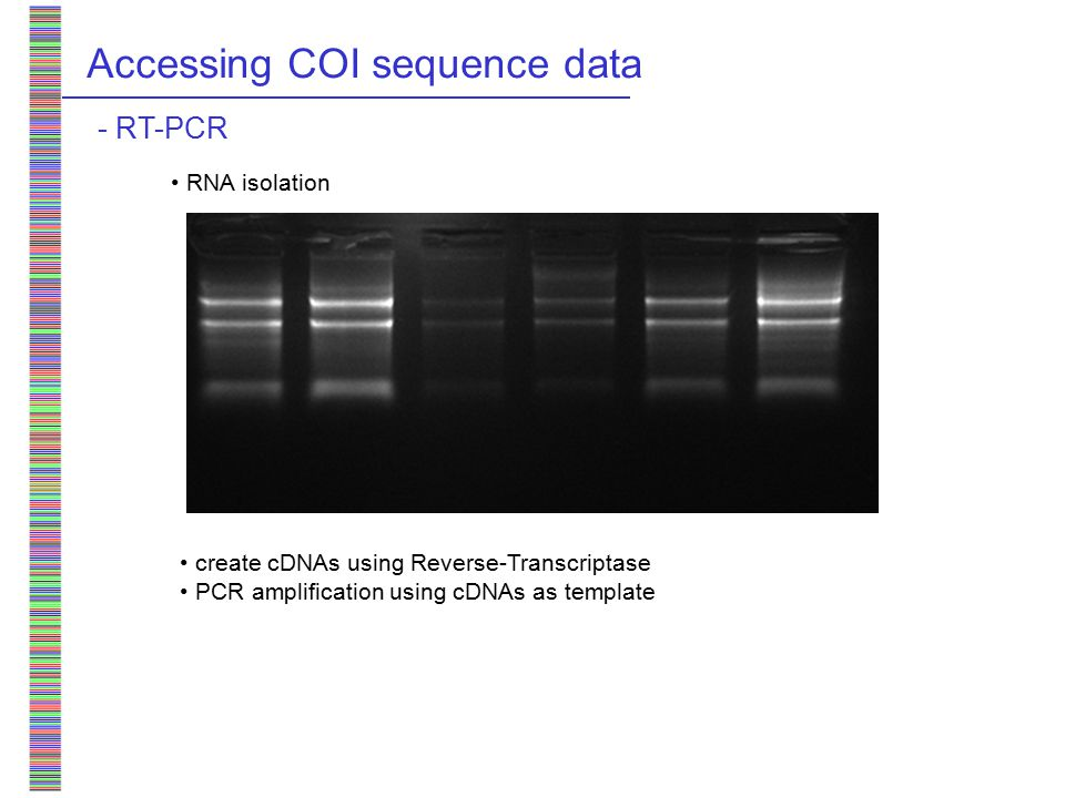 Accessing COI sequence data - RT-PCR RNA isolation create cDNAs using Reverse-Transcriptase PCR amplification using cDNAs as template > 95% success primer pair developed for a broad taxonomic range - Results