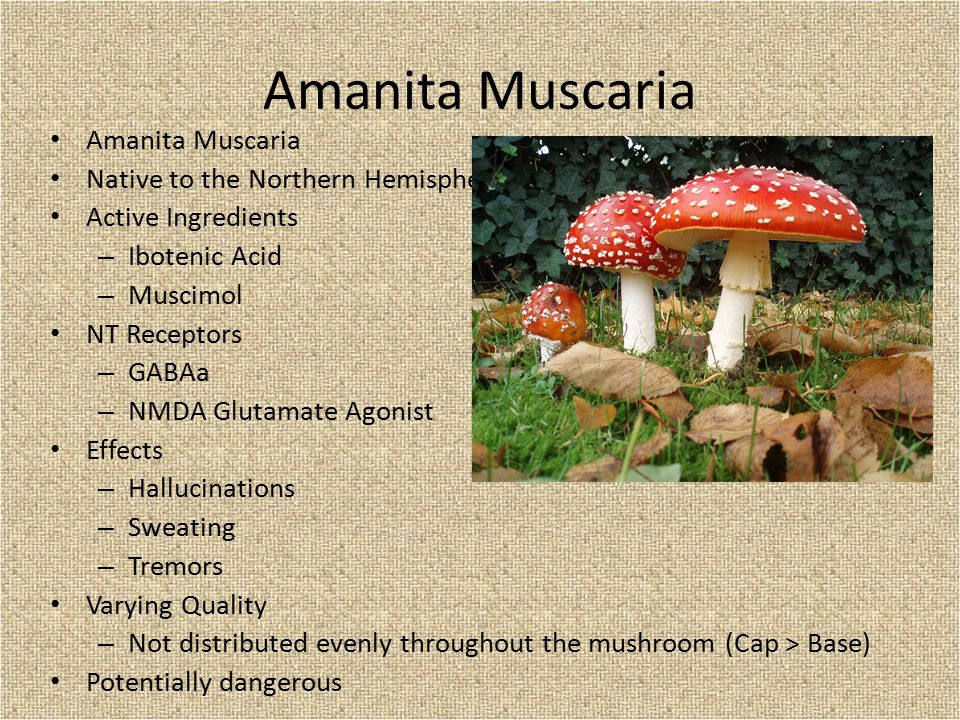 Native to the Northern Hemisphere Active Ingredients – Ibotenic Acid – Muscimol NT Receptors – GABAa – NMDA Glutamate Agonist Effects – Hallucinations – Sweating – Tremors Varying Quality – Not distributed evenly throughout the mushroom (Cap > Base) Potentially dangerous