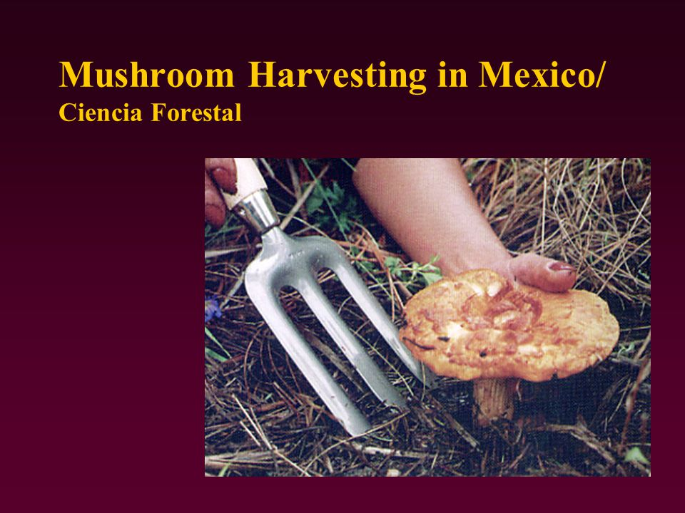 Mushroom Harvesting in Mexico/ Ciencia Forestal