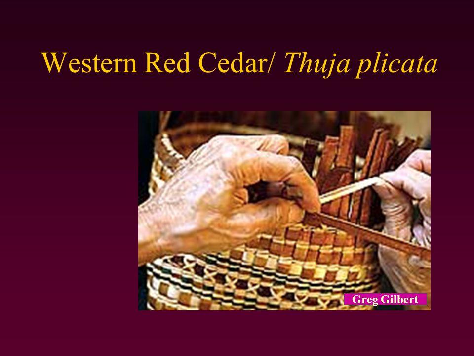 Western Red Cedar/ Thuja plicata Greg Gilbert