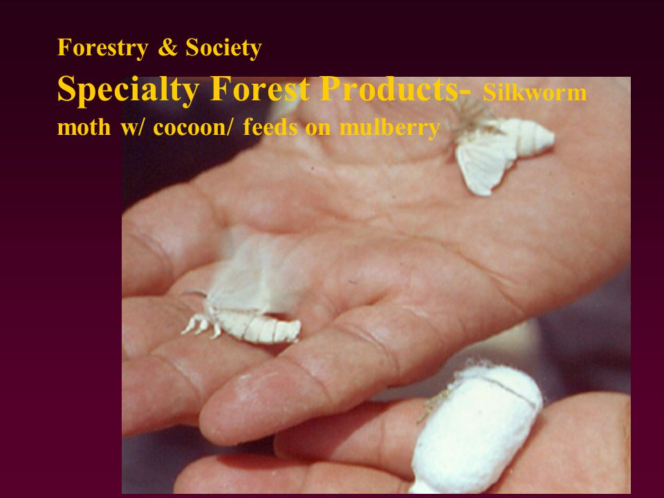 Forestry & Society Specialty Forest Products- Silkworm moth w/ cocoon/ feeds on mulberry
