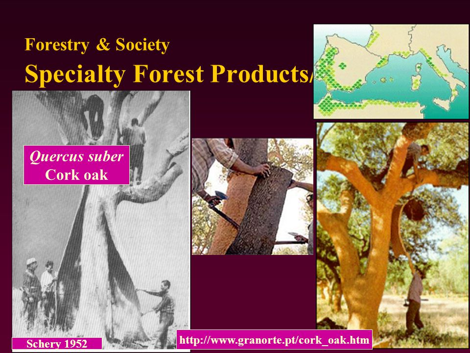 Forestry & Society Specialty Forest Products- So. Pine needles