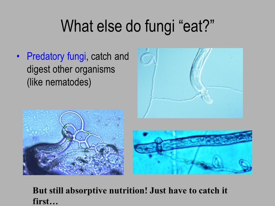 What do fungi eat Symbiotic fungi receive their energy (carbohydrates) directly from a plant or algal partner Examples: mycorrhizal fungi (live on plant roots) lichens (contain algae)
