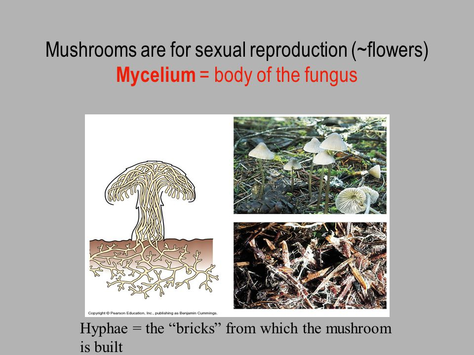 Fungi are made of hyphae (cells joined in thread-like strands)