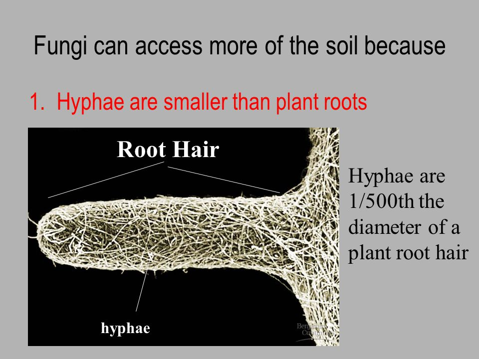 Mycorrhizae myco = fungus and rhiza = root Symbiotic association between plant roots and fungi Several different types of association (defined by structure of fungus:plant interface)