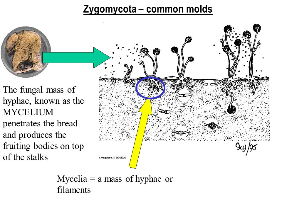 -are primarily decomposers -asexual spores may be produced in sporangia -sexual reproduction occurs between + and – strains forming a 2n zygote; a zygospore develops and may lie dormant for a long period of time; meiosis occurs just before germination -only the zygote is diploid; all hyphae and asexual spores are haploid Zygomycota (Rhizopus) the Common Molds