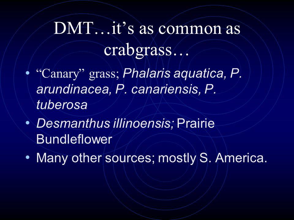 DMT…it's as common as crabgrass… Canary grass; Phalaris aquatica, P.