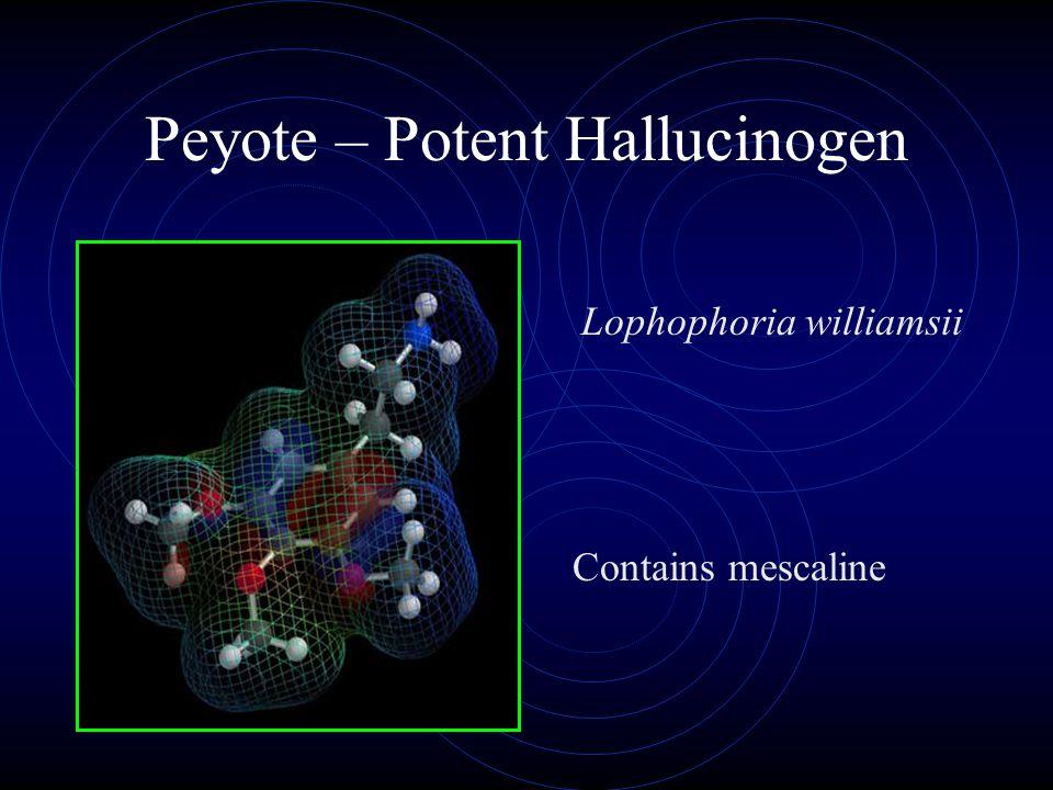 Peyote – Potent Hallucinogen Contains mescaline Lophophoria williamsii