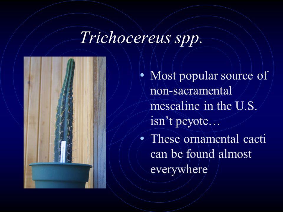 Trichocereus spp. Most popular source of non-sacramental mescaline in the U.S.