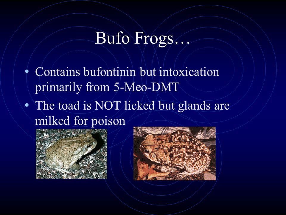 Bufo Frogs… Contains bufontinin but intoxication primarily from 5-Meo-DMT The toad is NOT licked but glands are milked for poison