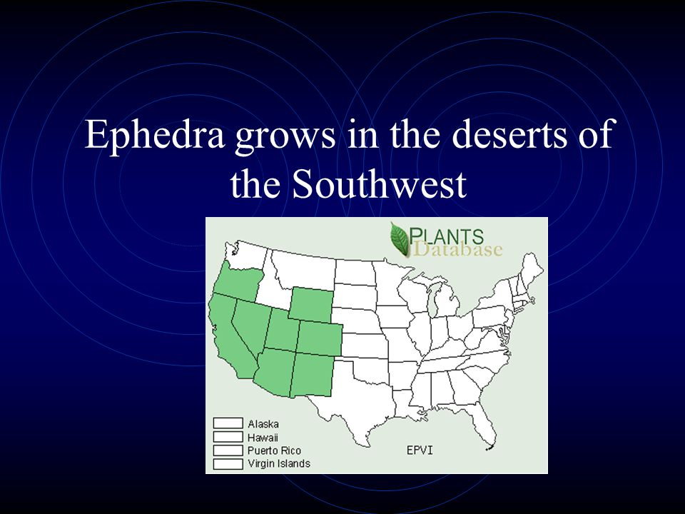Ephedra grows in the deserts of the Southwest