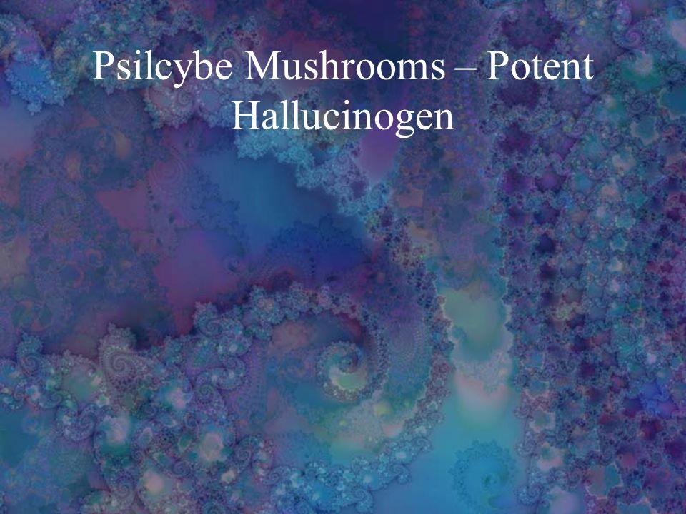 Psilcybe Mushrooms – Potent Hallucinogen