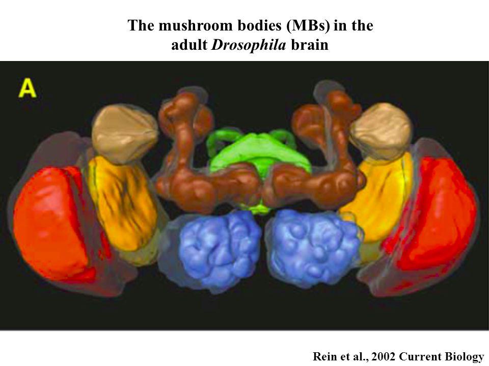 Rein et al., 2002 Current Biology The mushroom bodies (MBs) in the adult Drosophila brain
