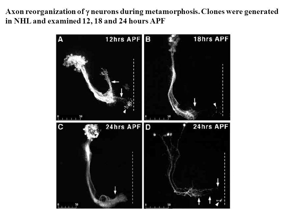 Axon reorganization of  neurons during metamorphosis.