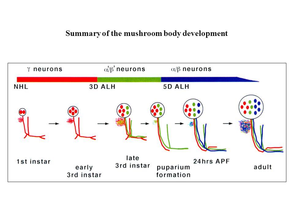 Summary of the mushroom body development