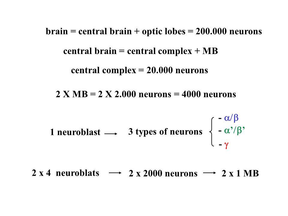 1 neuroblast 3 types of neurons -  -  '  ' -  2 x 4 neuroblats 2 x 2000 neurons2 x 1 MB brain = central brain + optic lobes = 200.000 neurons central brain = central complex + MB central complex = 20.000 neurons 2 X MB = 2 X 2.000 neurons = 4000 neurons