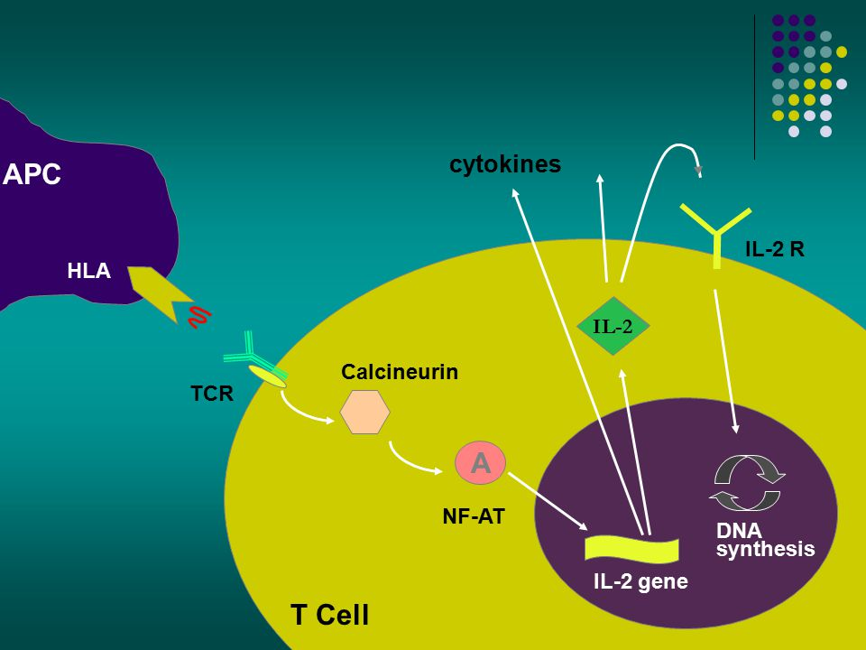 T Cell Calcineurin NF-AT IL-2 gene DNA synthesis TCR APC IL-2 A IL-2 R cytokines HLA IL-2