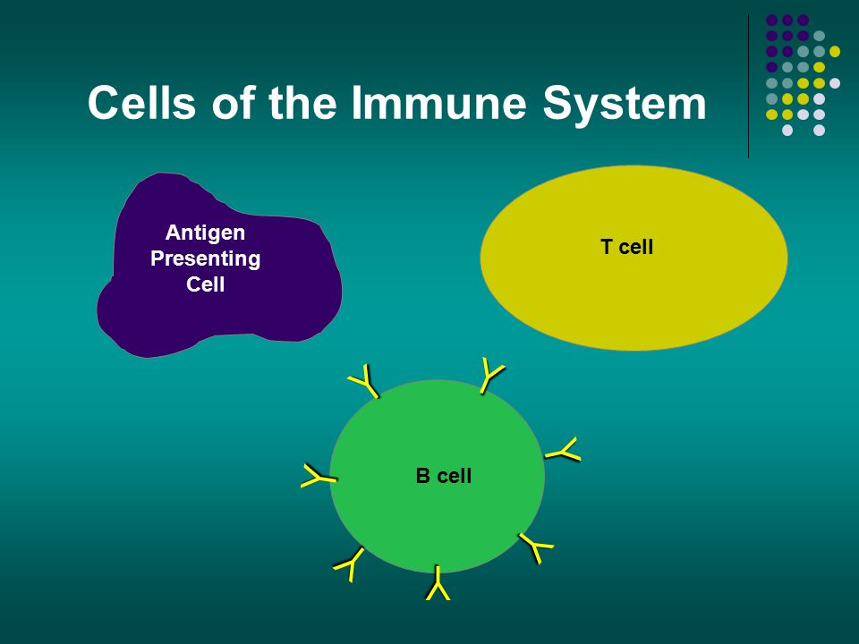 Cells of the Immune System Antigen Presenting Cell T cell B cell Y Y Y Y Y Y Y