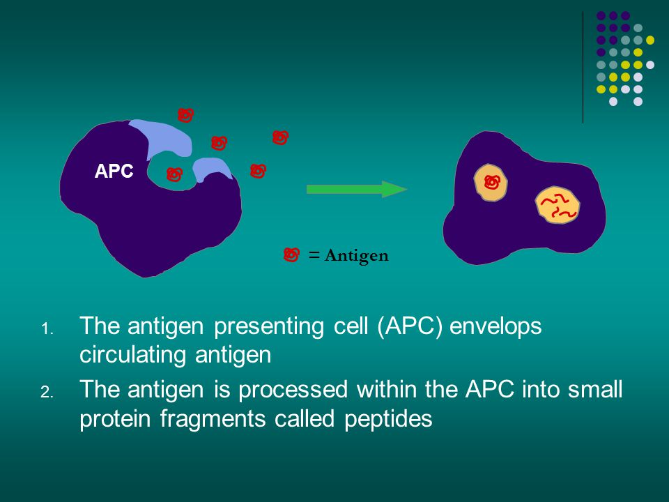 1. The antigen presenting cell (APC) envelops circulating antigen 2. The antigen is processed within the APC into small protein fragments called pepti
