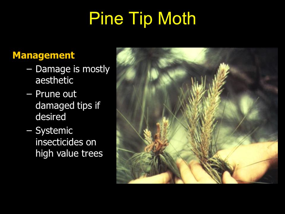 Pine Tip Moth Management –Damage is mostly aesthetic –Prune out damaged tips if desired –Systemic insecticides on high value trees