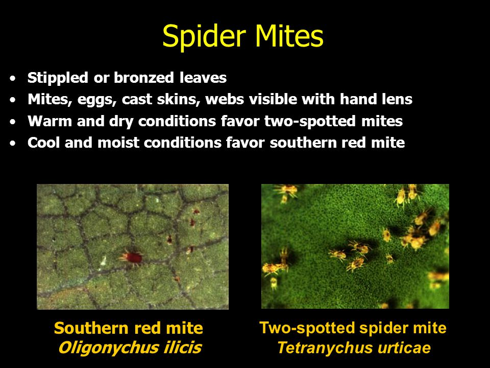 Spider Mites Stippled or bronzed leaves Mites, eggs, cast skins, webs visible with hand lens Warm and dry conditions favor two-spotted mites Cool and