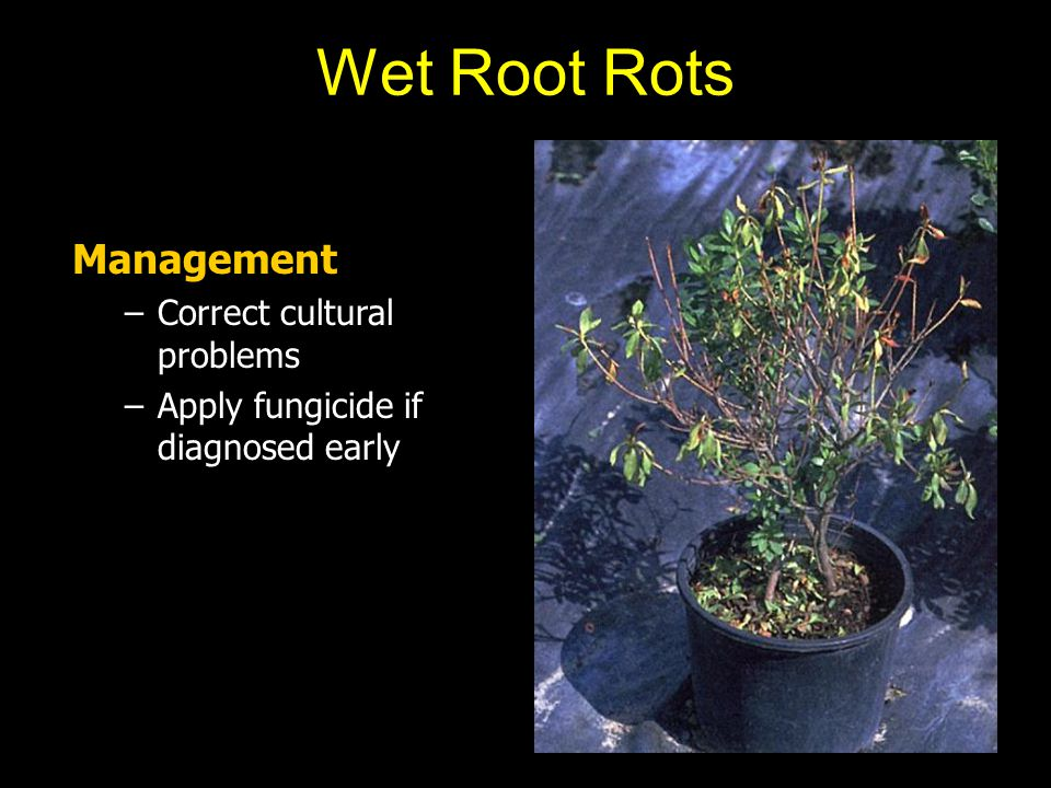 Management –Correct cultural problems –Apply fungicide if diagnosed early Wet Root Rots