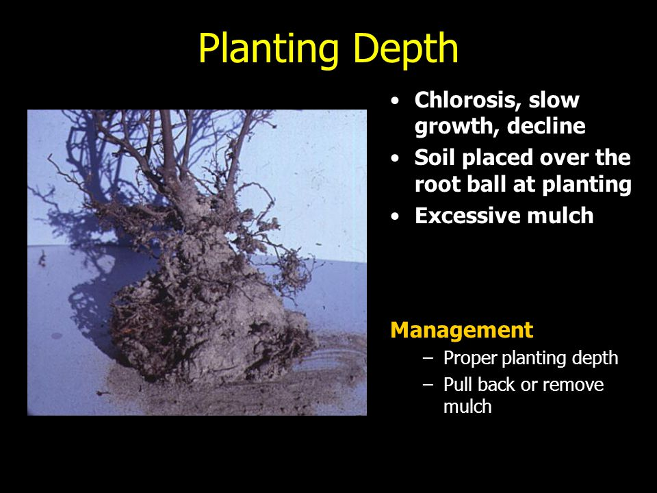 Planting Depth Chlorosis, slow growth, decline Soil placed over the root ball at planting Excessive mulch Management –Proper planting depth –Pull back